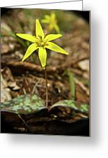 Yellow Trout Lily 1 Greeting Card