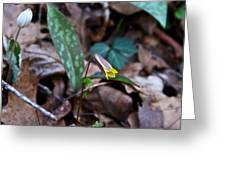 Yellow Trout Lily 2 Greeting Card