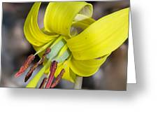 Yellow Trout Lily Greeting Card