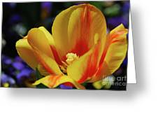 Yellow Tulip Blossom Streaked  With Red In The Spring Greeting Card