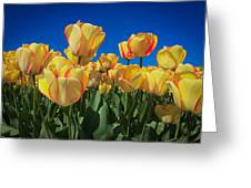 Yellow Tulips With An Orange Flare Greeting Card