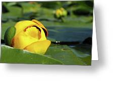 Yellow Water Lily Greeting Card