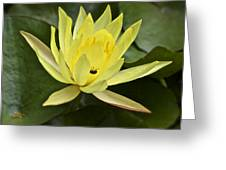 Yellow Waterlily With A Visiting Insect Greeting Card