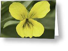Yellow Wild Violet Greeting Card