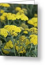 Yellow Yarrow Greeting Card