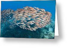 Yellowfin Goatfish Greeting Card