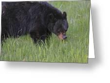 Yellowstone Black Bear Grazing Greeting Card