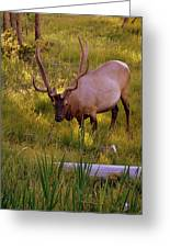 Yellowstone Bull Greeting Card