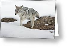 Yellowstone Coyote Greeting Card