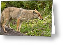 Yellowstone Coyote Scout Greeting Card