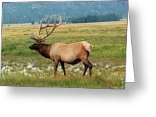 Yellowstone Elk Greeting Card