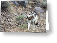 Yellowstone Grey Wolf Greeting Card