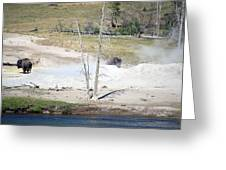 Yellowstone Park Bisons In August Greeting Card