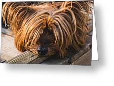 Yorkshire Terrier Biting Wood Greeting Card