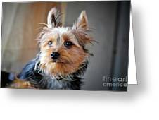 Yorkshire Terrier Dog Pose #3 Greeting Card