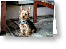 Yorkshire Terrier Dog Pose #6 Greeting Card