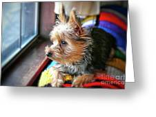 Yorkshire Terrier Dog Pose #8 Greeting Card