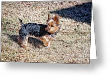 Yorkshire Terrier Dog Pose #9 Greeting Card