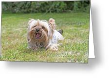 Yorkshire Terrier Is Smiling At The Camera Greeting Card