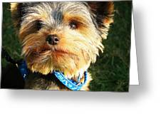 Yorkshire Terrier Greeting Card