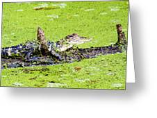 Young Alligator On A Log Greeting Card