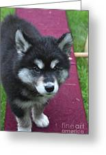 Young Alusky Puppy Standing On A Teeter Totter Greeting Card