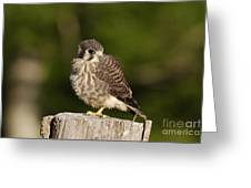 Young American Kestrel Greeting Card