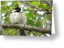 Young Black-capped Chickadee Greeting Card