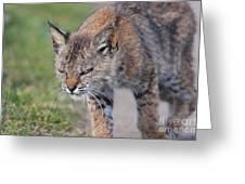 Young Bobcat 03 Greeting Card