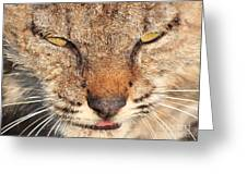 Young Bobcat Portrait 01 Greeting Card