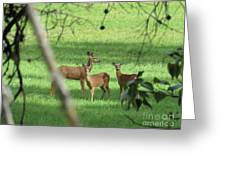 Young Buck With Two Does In The Meadow Greeting Card