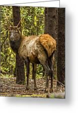 Young Bull Elk Greeting Card