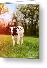 Young Calf Greeting Card