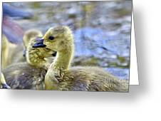 Young Canadain Goose Greeting Card
