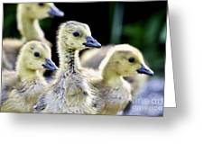 Young Canadian Goose Goslings Greeting Card