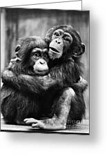 Young Chimpanzees Greeting Card