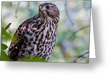 Young Cooper's Hawk Greeting Card