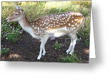 Young Doe Greeting Card