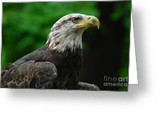 Young Eagle Greeting Card