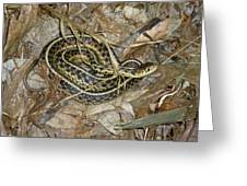 Young Eastern Garter Snake - Thamnophis Sirtalis Greeting Card