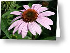 Young Echinacea Bloom Greeting Card