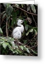 Young Egret Costa Rica Greeting Card