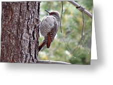 Young Flicker Greeting Card