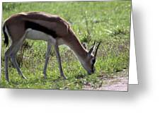 Young Gazelle Greeting Card