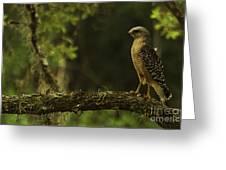 Young Hawk Greeting Card