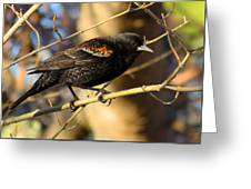 Young Male Red-winged Black Bird Greeting Card