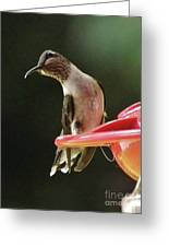 Young Male Ruby-throated Humminngbird Greeting Card