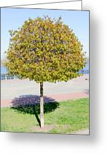 Young Maple Tree Greeting Card