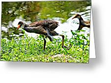 Young Moorhen Greeting Card
