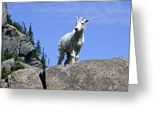 Young Mountain Goat Greeting Card